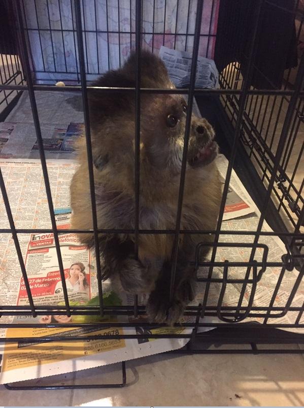 Un mono capuchi vive en cautiverio en tlalnepantla