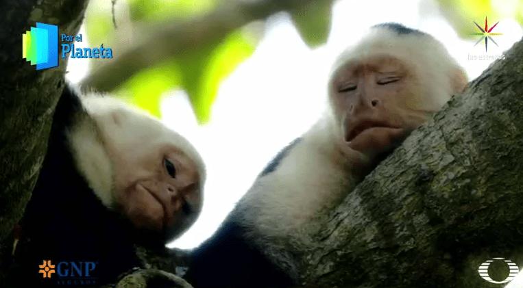 Monos capuchinos de Costa Rica Por el Planeta