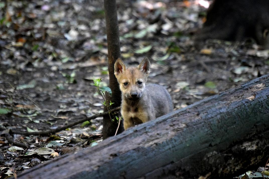 Resultado de imagen para lobos zoologico los coyotes