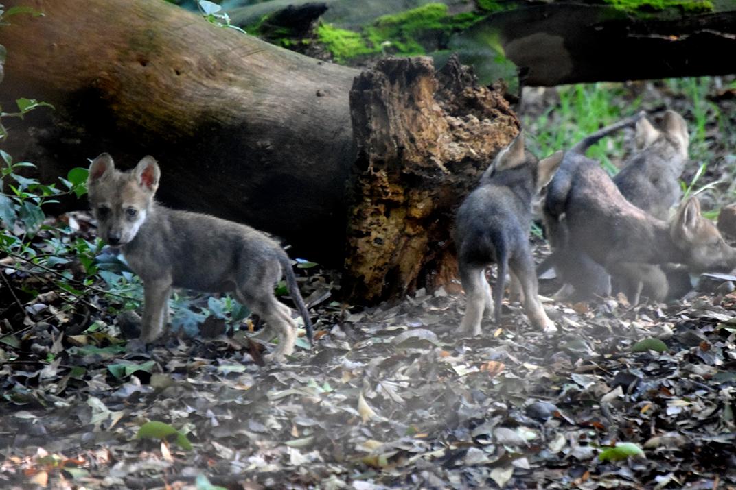 Nacen siete crías de lobo mexicano en CDMX