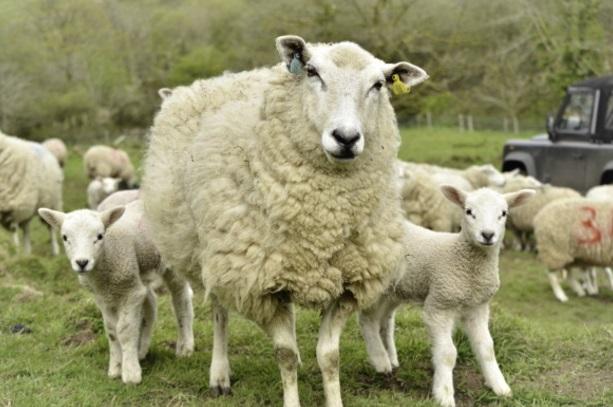 Ovejas en un campo en Reino Unido (Getty/Archivo)