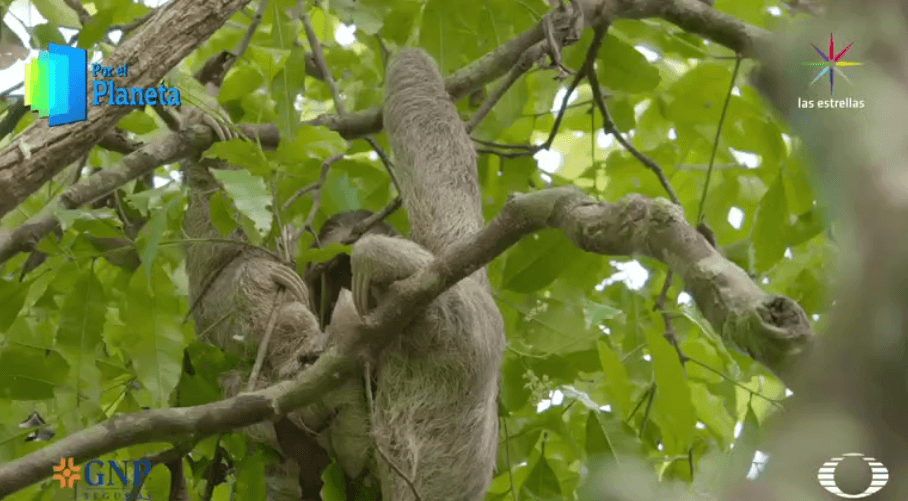 Perezoso del Parque Nacional Corcovado de Costa Rica
