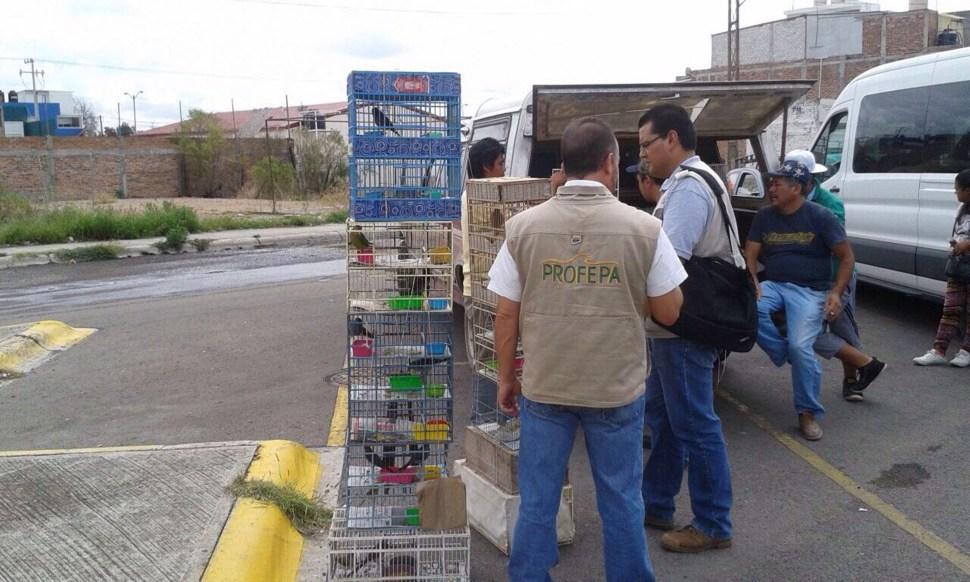 Profepa asegura 168 ejemplares de aves silvestres en Celaya, Guanajuato