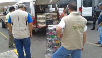 Profepa asegura 168 ejemplares de aves silvestres en Celaya