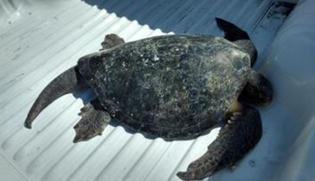 Profepa resguarda ejemplar de tortuga golfina