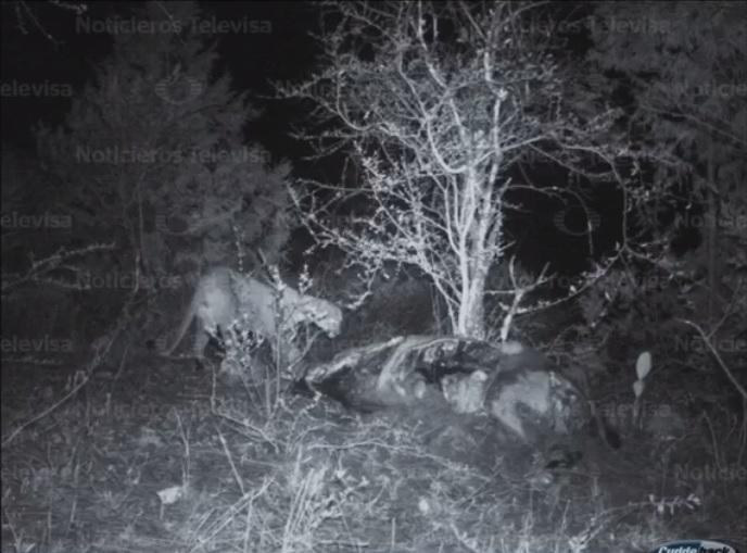 Un puma mata ganado en actopan hidalgo