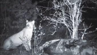 Puma Actopan Hidalgo Medio Ambiente