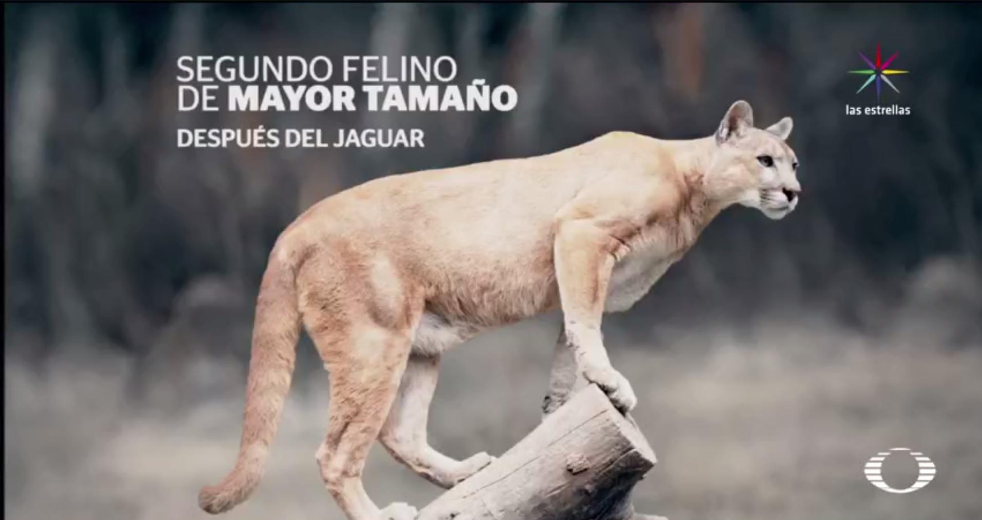 En alerta, comunidades de hidalgo por presencia de pumas