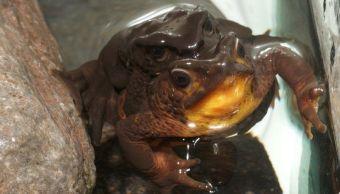 La especie jambato negro, Atelopus ignescens, es una rana nativa de Ecuador (Foto: Centro Jambatu)