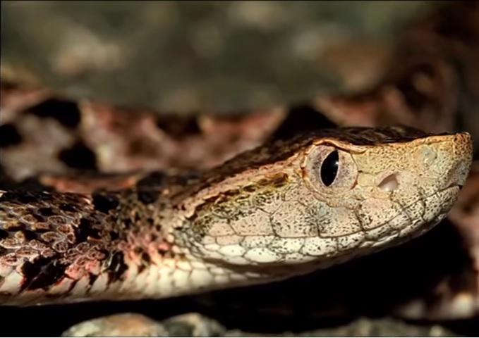 Una serpiente nauyaca muerde a una persona en chiapas