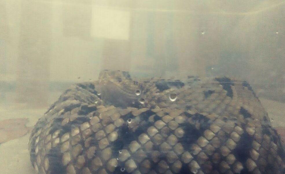 Profepa, Serpientes Venenosas, Toluca, Estado De Mexico, Noticias, Noticieros