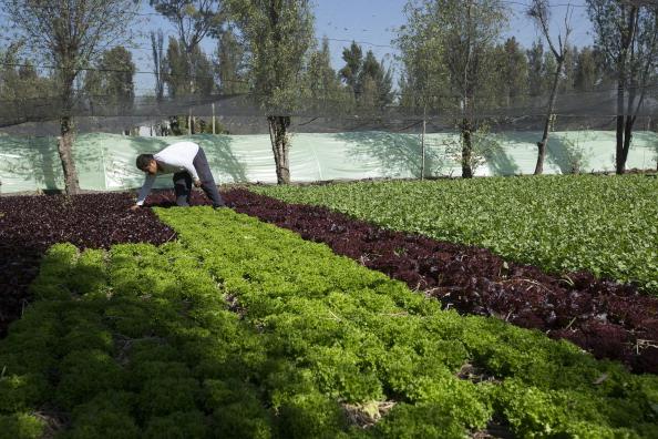 Yolocan, Recate de chinampas, Xochimilco, Agricultura, Ciudad de Mexico, Noticias