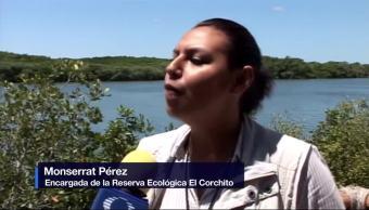 Yucatan Rehabilita Manglares Devastados Huracanes Estado