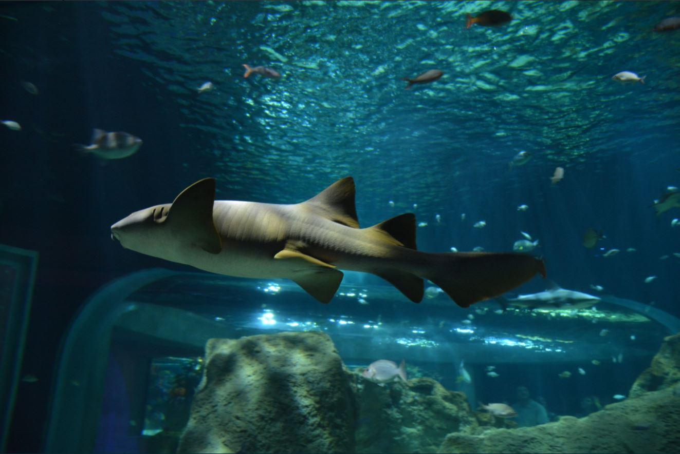 Tiburon nada en acuario de guadalajara