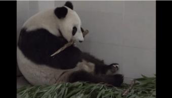 Haizi, la mamá panda más longeva