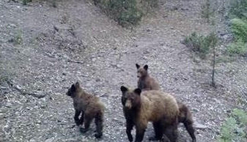 hembra de osos con tres crias en chihuahua (Copy)
