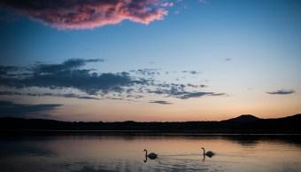 un cisne encuentra compañero en alemania