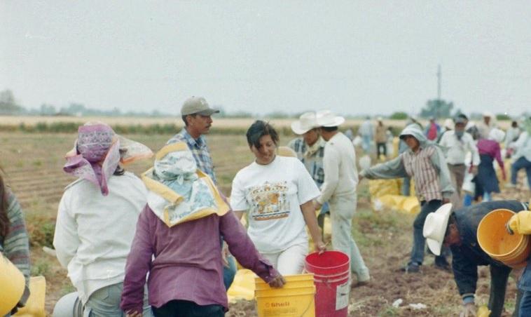 Jornaleros en sonora cultivan papas en huatabampo
