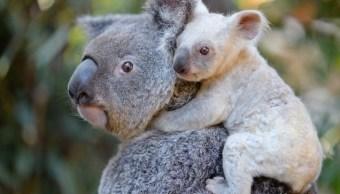 Nace koala blanca en un zoológico de Australia