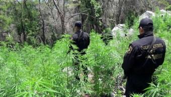 Localizan dos plantíos de marihuana en Edomex