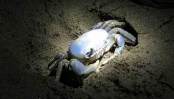 protegen al cangrejo azul en la biosfera de los tuxtlas