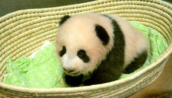 Bautizan Xiang Xiang a panda gigante del Zoológico de Tokio
