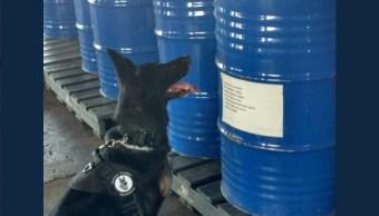 binomio canino detecta 10 mil litros precursor quimico michoacan