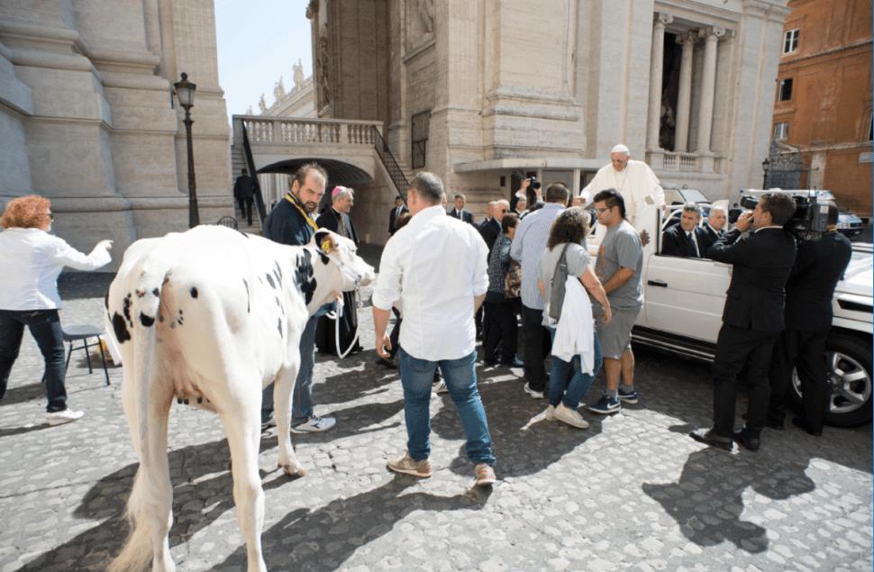 La ternera llamada 'Lou' fue entregada al papa en la Plaza de San Pedro. (EFE)