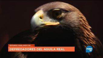 KLa UNAM platica de la importancia del Águila Real Mexicana