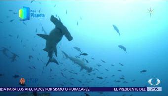 Tiburón martillo, joya que habita monte submarino de Isla del Coco
