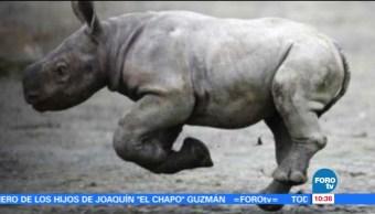 Extra, Extra: Nace un rinoceronte negro en República checa