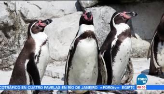 Extra, Extra: Deceso masivo de pingüinos