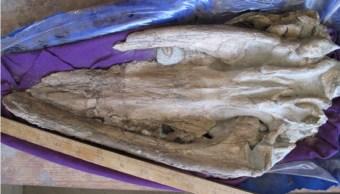 cientificos anailizan ballena de millones de años