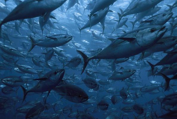 México apelará fallo de la OMC sobre atún