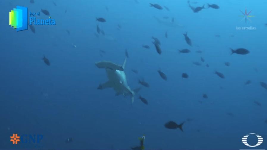 Tiburón martillo en Isla del Coco, Costa Rica