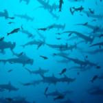Tiburones martillo en Isla del Coco, Costa Rica