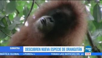 Descubren una nueva especie de orangután en Sumatra