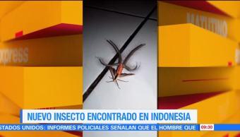 Extra, Extra: Encuentran nuevo insecto en Indonesia