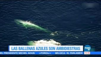 Extra Extra: Las ballenas azules son ambidiestras