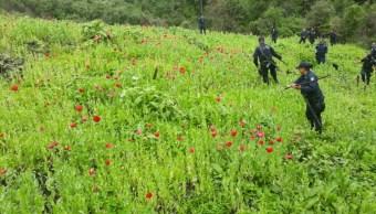 destruyen 16 plantios amapola sierra chilpancingo guerrero