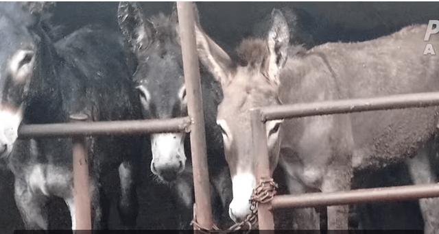 Burros son maltratados en granjas de China. (PETA/Youtube)