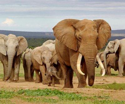 Trump permite importar trofeos de elefantes cazados en Zimbabue