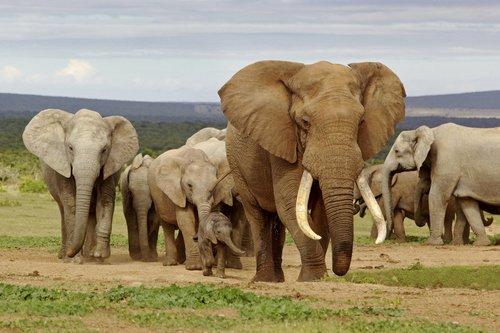 Trump permite importar trofeos elefantes cazados Zimbabue