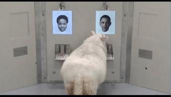 Científicos realizan experimento con ovejas que podría ayudar a la investigación de enfermedades neurodegenerativas