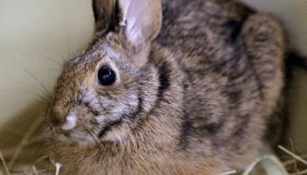 Un conejo se alimenta sobre una cama de paja