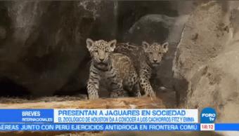Zoológico Houston Presenta Público Cachorros Jaguar