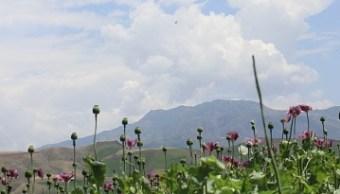agentes federales desrtuyen plantios de amapola en durango