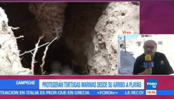 Protegerán Tortugas Marinas Desde Arribo Playas Campeche