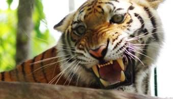 Tigre_de_Bengala