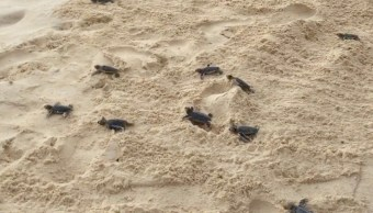 Se han liberado casi 100 mil crías de tortugas en Campeche